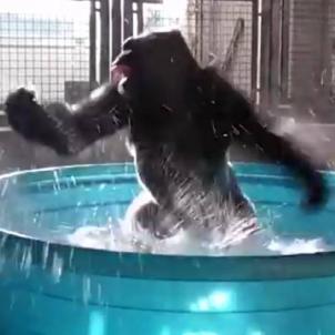 Video gorila   twitter