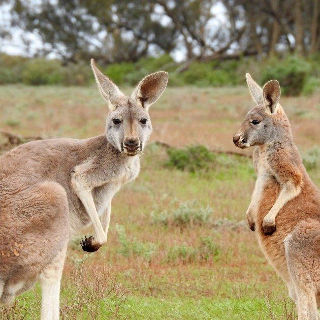 kangaroos 1563624 1920