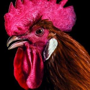 pollastre potablava el prat