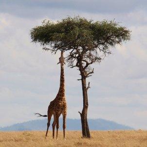 girafa pixabay