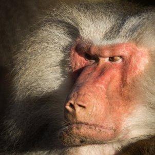 babui enfadat pixabay