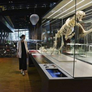exposició i 'Sabres i mastodonts' la megafauna del mioce i a cosmocaixa caixa