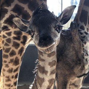 girafa zoo barcelona ajbcn