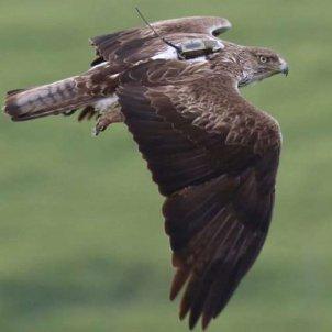 àguila cuabarrada Endesa