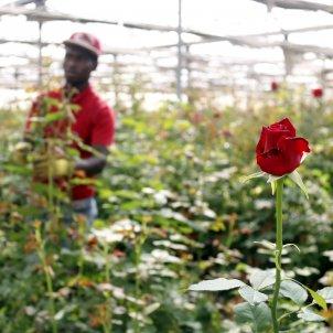 roses hivernacle sant jordi acn