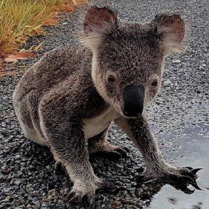 koala WWH