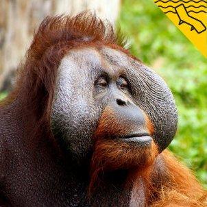 orangutan gandula pixabay