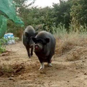 porc vietnamita acn