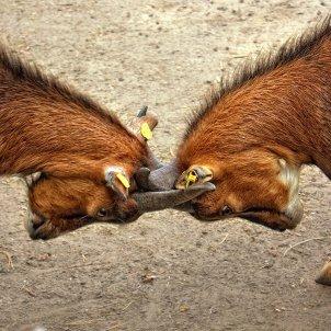 Cabres lluita (Peter Dargatz)