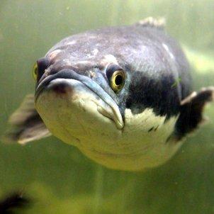 Peix enfadat (Zoosnow)