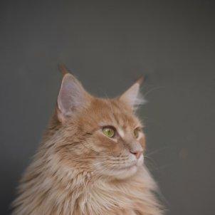 Los gatos son mas susceptibles a la COVID-19