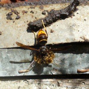 vespa asiàtica