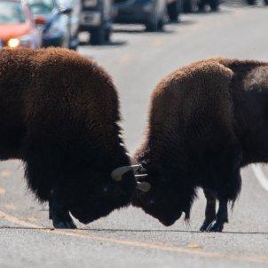Combat de bisons (Goutham Ganesh Sivanandam)