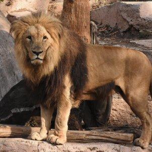 lleo Zoo de Barcelona foto Zoo