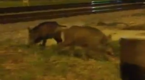 Porcs Seglars Badalona