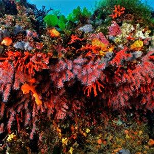 coral rojo mediterraneo palamós - Europa Press