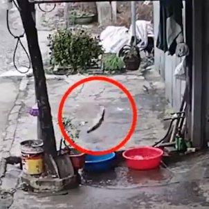 Video viral huida pez / @RajendraKadamb