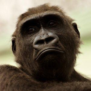 Goril·la (Alexandra)