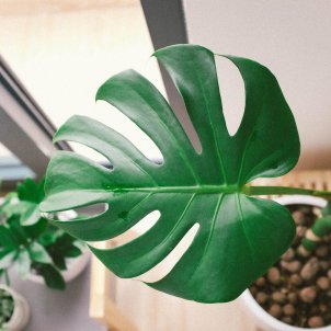 monstera planta interior unsplash