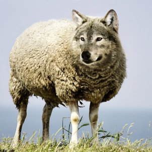 lobo piel cordero pixabay