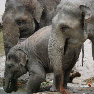 Elefantes asiáticos / Pixabay