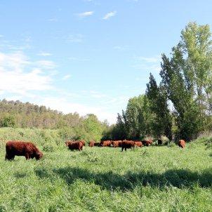 cabirols vaques camps catalunya central ferratge ACN