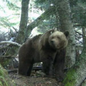 Un oso en el Val d'Aran / Conselh Generau d'Aran
