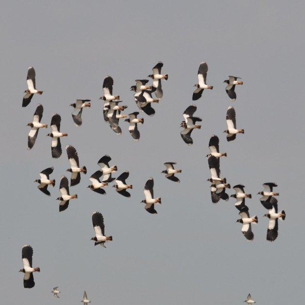 10.Fredelugues Vanellus vanellus ArxiuConsroci