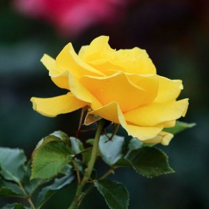 Rosa groga 2 / Pxhere