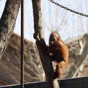 orangutà Zoo Barcelona - ACN
