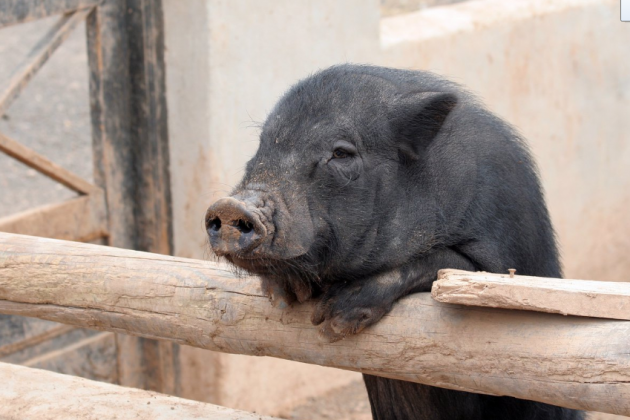 porc negre