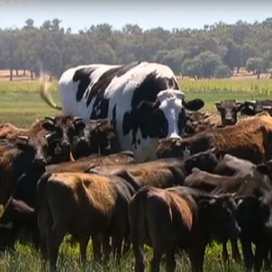 vaca gegant euronews