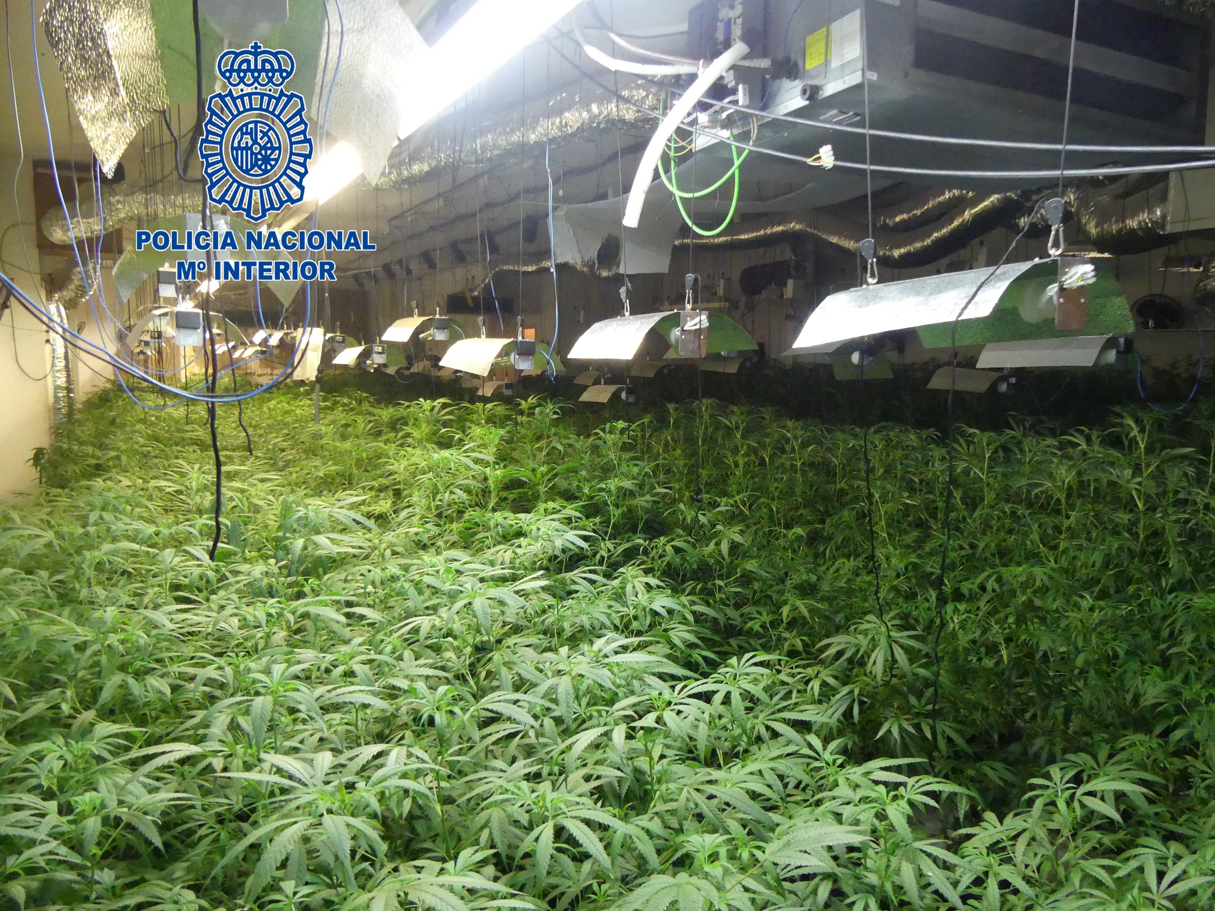 Plantació marihuana Mataró -ACN