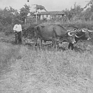 Parella de bous llaurant (Garsd)