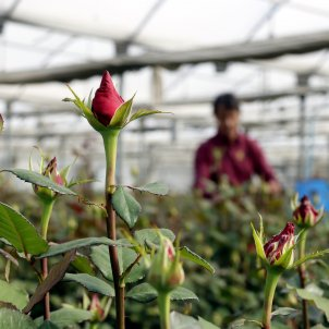 rosa hivernacle sant jordi acn