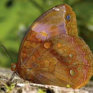 papallona efe