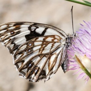 EuropaPress papallona