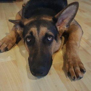 gos espantat revetlla pixabay