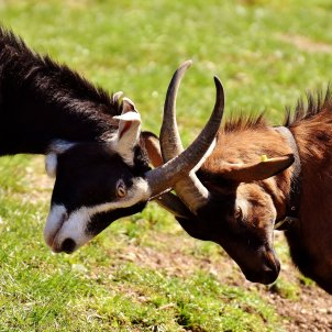Cabres enfrontades (Alexas Fotos, Pixabay)