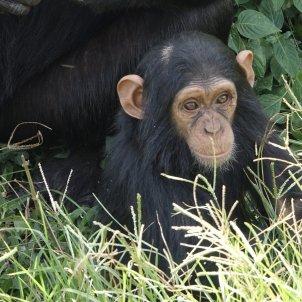 chimpancés África pixabay
