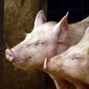porcs febre porcina peggy Coucair Pixabay