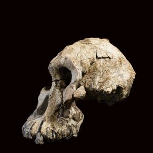 crani Australopithecus anamesis homínid Dale Omori / Museu de Cleveland d'Història Natural