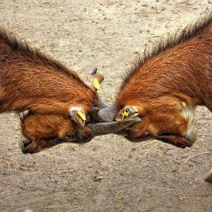 gran lluita cabra animal pixabay