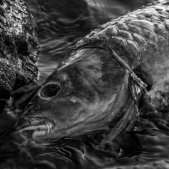 Carpa morta peix ecologia desastre medi ambient (Christoph Schütz)